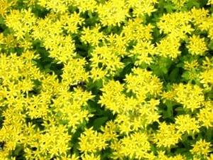 voorbeeld van sedum in bloei
